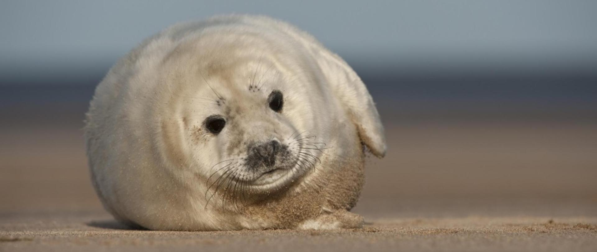 Seal Pup at Donna Nook
